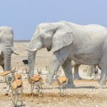 *** MANDATORY BYLINE *** Pic by Anja Denker / Caters News (PICTURED: A white elephant, pictured in Etosha National Park in Namibia.) - These amazing elephants look like they belong in Madame Tusk-auds - but in fact they are anything but statues. Despite appearing to be carved from stone, the white elephants have in fact smeared themselves in white clay. The pale coat  lends the elephants a marble-like appearance, confusing many tourists into thinking theyve run into a herd of statues or even albino animals. The elephants use clay from the Etosha Pan to give themselves protection from the fierce sun. SEE CATERS COPY