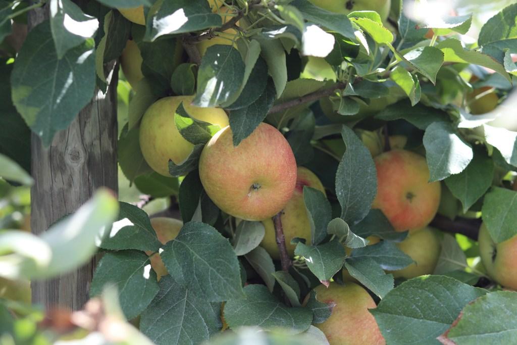 Best Apple Picking Locations Near St. Louis