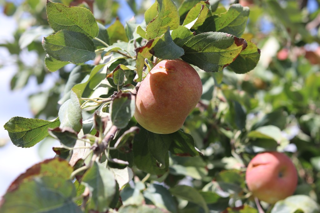 Eckerts-Apples-1