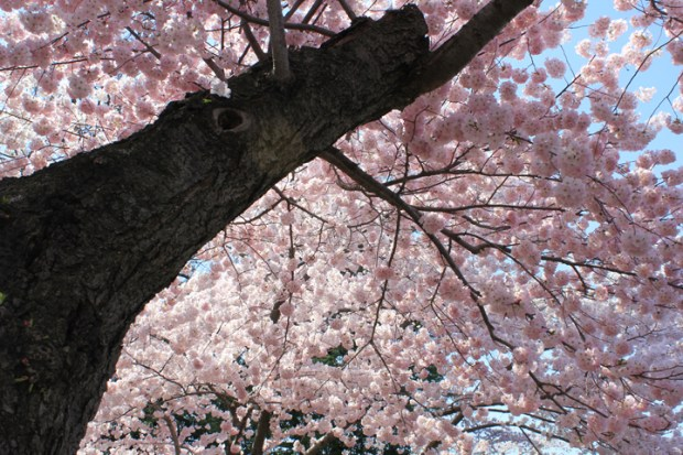 A stately old cherry tree shows off its spring finery. (Photo by Andrea Kenner, Apr. 9, 2013)