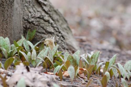 trout lilies in progress