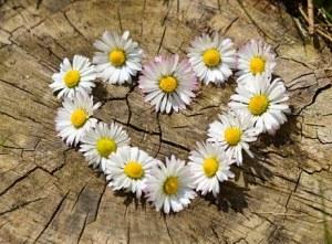 Herz aus Gänseblumen