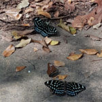 Butterflies near Kbal Spean