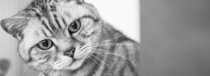BKH Britisch Kurzhaar Silber Tabby Spotted