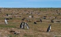 Повседневные дела пингвиньей колонии.