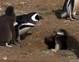 Пингвиниха, похожая на курицу, и два её отпрыска.