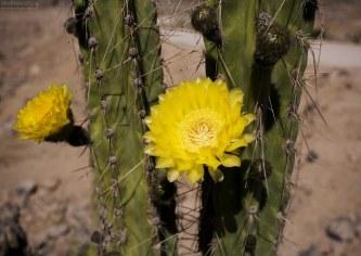 Яркие бутоны перуанского кактуса-факела.