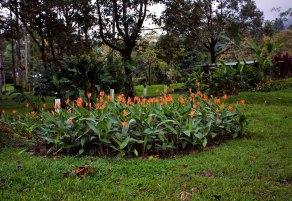"""Заросли геликоний и цветов """"bird of paradise"""" около Arenal Observatory."""