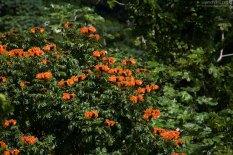 Тюльпановое дерево с бутонами в лесу El Yunque.
