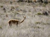 Викунья (Vicuña) - южноамериканская представительница семейства верблюдовых.
