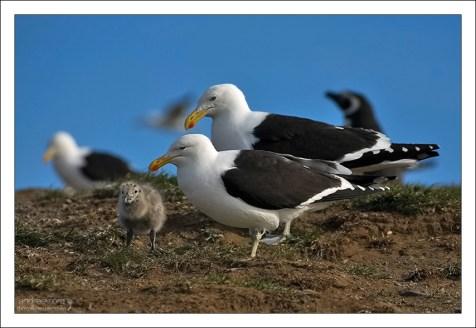 Чайки вида Kelp Gull с птенцом.