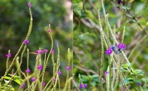 Крошечные колибри на любимых цветах вербении.