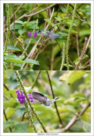 Колибри у цветов вербении с одуряющим запахом.