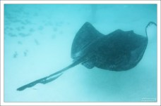 Southern stingray (Американский скат-хвостокол).