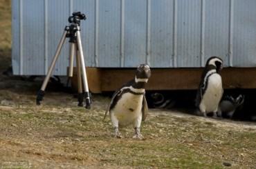 Пингвины сперли у нас штатив.