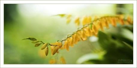 """Оранжевый трамплин"" Куст орхидеи вида Pleurothallis immesa."