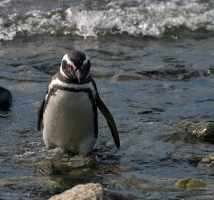 Пингвинья Афродита.