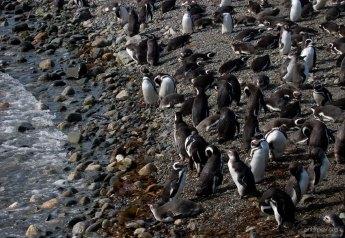 Колония Магеллановых пингвинов на берегу.