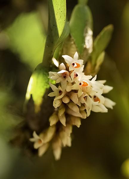 Компактное семейство орхидей.