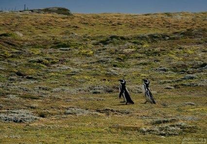 Магеллановы пингвины, рассекающие по тундре.
