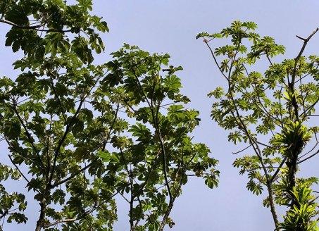 Cecropia tree - один из самых быстро растущих видов деревьев.