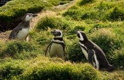 Что-то замышляющая троица пингвинов.