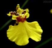 Цветы орхидеи Oncidium bryolophotum (танцующие человечки).