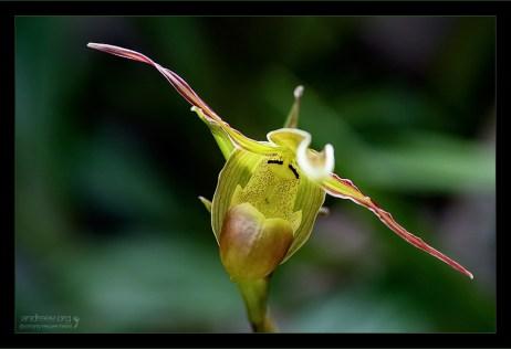 Тапочек с крыльями (Phragmipedium Longifolium).