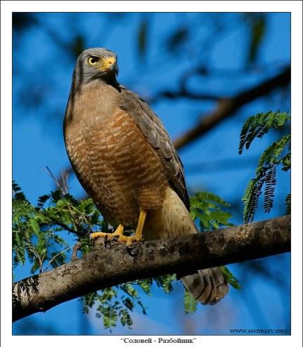 Roadside hawk (Rupornis magnirostris) – очень серьезная, хищная птица. Умеет летать среди плотной растительности, выискивать спрятавшихся мелких птичек, белок, бурундуков и сусликов. Бывает нападает на птичьи фермы.