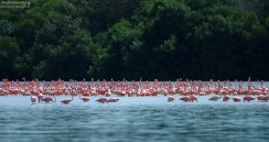 Фламинговый базар. Celestun Biosphere Reserve.