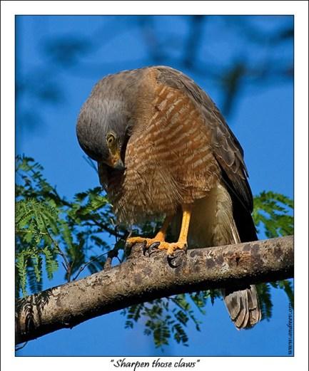 """""""Заточил когти"""" Хищный Канюк (Rupornis magnirostris) проверяет насколько хорошо заточил когти перед охотой."""