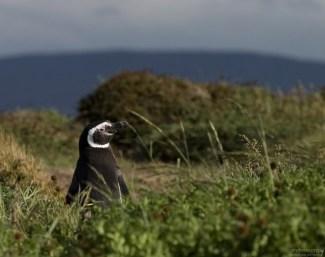 Мечтающий пингвин.