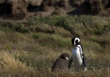 Пингвиниха с отпрыском среди травы.