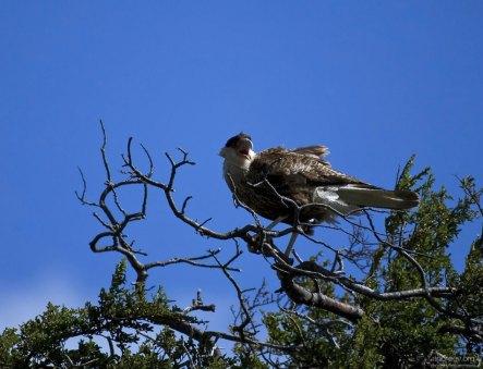 Южная Каракара (Southern Caracara) на вершине дерева на обочине.