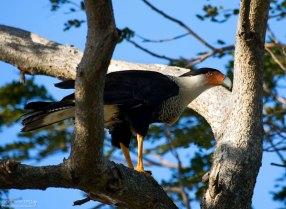 Каракара с разбухшим зобом. Зоб указывает на то, что недавно птица очень плотно поела.