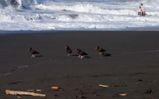 Группа черных устрицеловов на черном пляже Hidden beach.