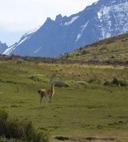 Гуанако на высокогорном пастбище.
