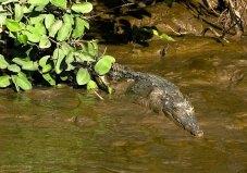 Скромный крокодильский детеныш. Берег реки Rio de los Crocodiles.