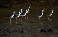 Группа Ходулочников (Himantopus himantopus) на берегу Крокодильей реки.