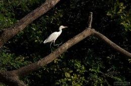 Белая цапля, обходящая свои владения. Птичий остров (Isla de Los Pajaros).