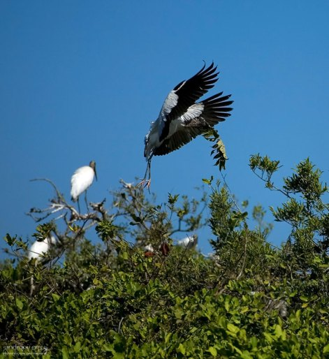 Древесный аист с большим куском строительного материала на Птичьем острове.