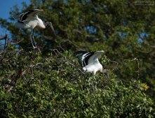 Древесный аист заигрывает с аистихой на Птичьем острове.