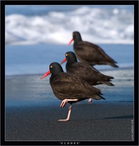 """""""Клоны"""" Птицы под интересным названием Black Oystercatcher (дословно Черный устрицелов), а более литературно - Кулик-сорока Черный, выстроились в ряд, и попробуй их отличить друг от друга. Встречаются только на западном побережье Северной Америки от Калифорнийского п-ова на юге до о. Киска, Алеутские о-ва на северо-западе."""