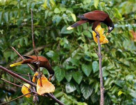 Парочка птиц Montezuma на ветках с папайями.