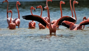 Фламинго принимают ванну путем взбивания воды крыльями.