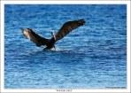 «На Водных Лыжах». Пеликан а-ля Сесна на водных лыжах приводняется у берегов Коста-Рики.