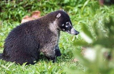 Носуха, или коати (Nasua nasua) - милые с виду существа.