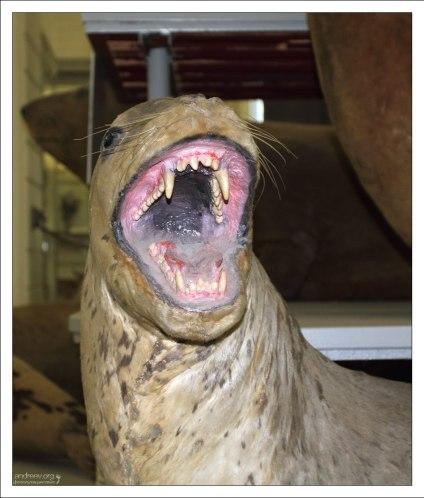 Чучело морского леопарда. Зоологический музей.