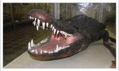 Чучело Американского аллигатора. Зоологический музей.