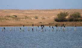 Бакланы и чайки на дюнах в национальном парке Sous-Massa.
